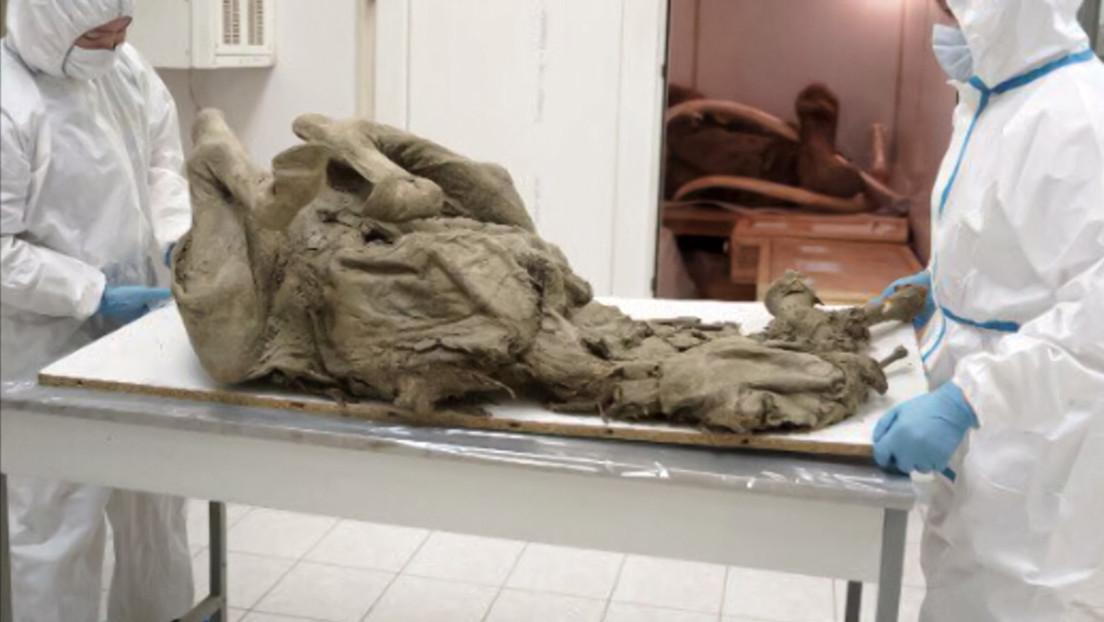 Científicos rusos estudian virus prehistóricos en tejidos de animales recuperados de permafrost derretido